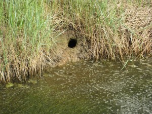 Water vole burrow