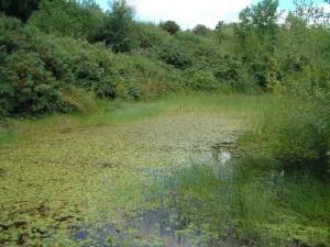 newt pond3