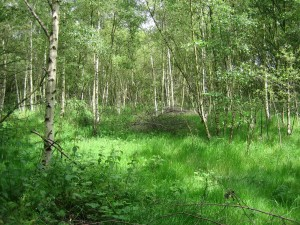 young birch woodland
